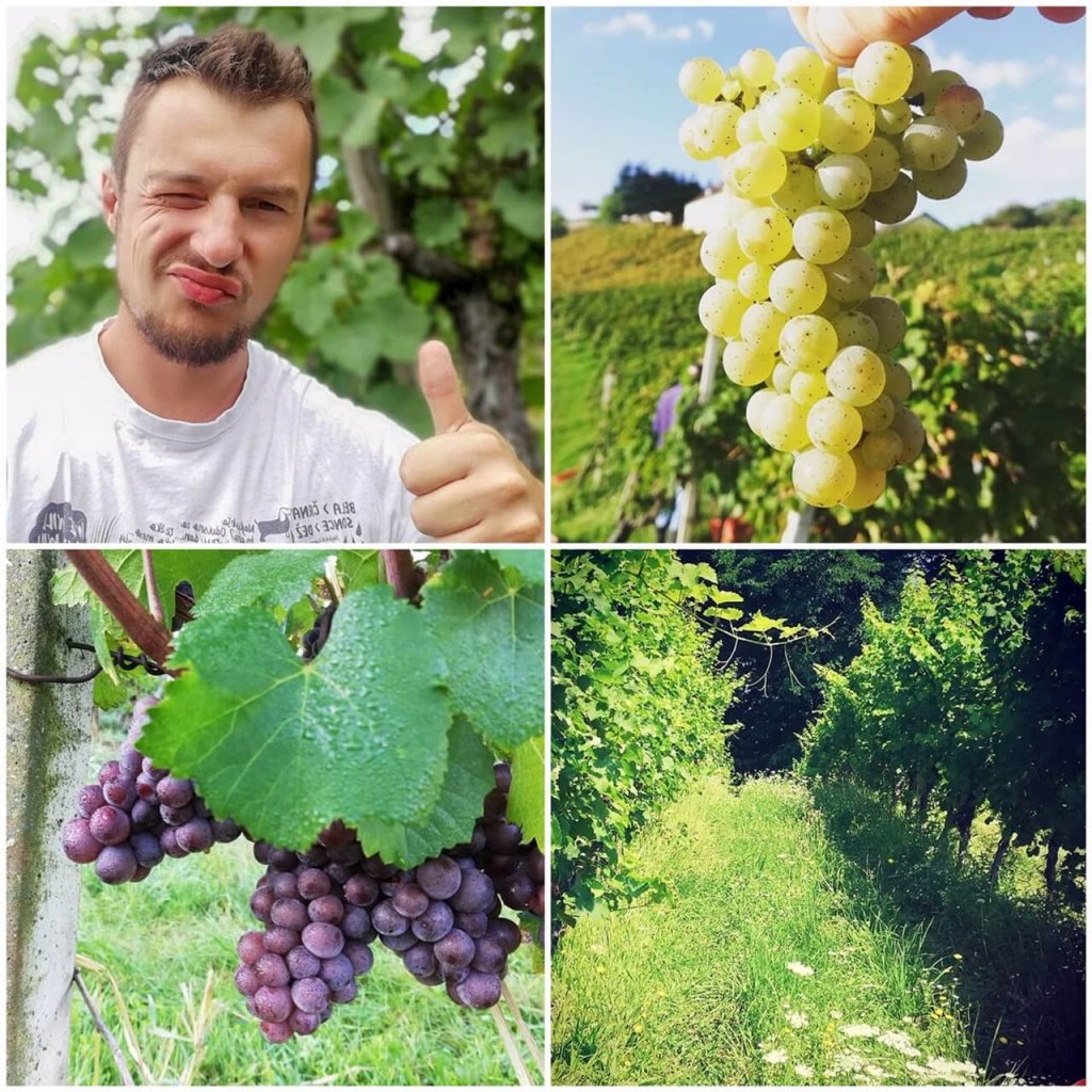 Matic of Matic wines giving a thumbs up, and photos of red and white grapes and the green, grassy vineyard in Slovenia