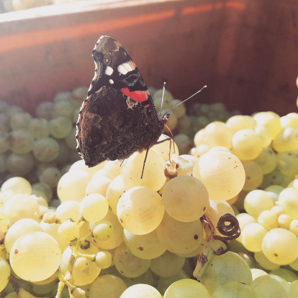 White wine grapes with a sweet butterfly sitting on them